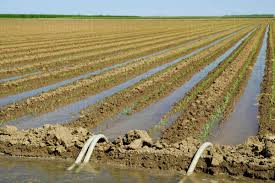 irrigated corn agriculture furrow irrigation of a grain corn field siphon tubes