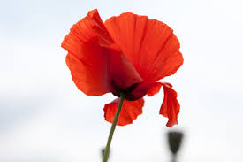 remembering u2026poppies women war peace u2013 remember me the changing