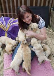 Dogs Helping Blind People It U0027s A Dog U0027s Life Mother Of Huge Litter Of Ten Labradors Holds