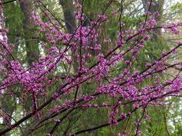 native plant nursery minnesota minnesota strain redbud knecht u0027s nurseries u0026 landscaping