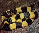 <b>Bungarus</b> fasciatus