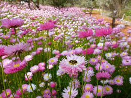 what plants are native to australia rhodanthe chlorocephala ssp rosea u2013 everlasting daisy australian