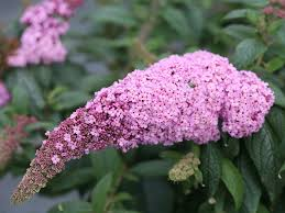 pugster pink butterfly bush buddleia x proven winners