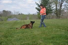 belgian sheepdog lifespan boarding kentucky dog training lexington louisville dog