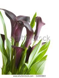 black calla purple black calla plant stock photo 54883663
