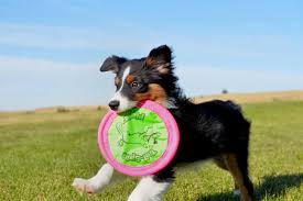 australian shepherd off leash mutts to play for donated prizes u2013 the daily evergreen