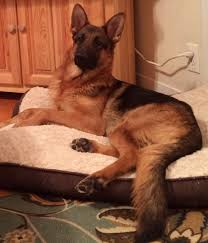 belgian shepherd victoria german shepherd breeder of merit health tested german shepherds
