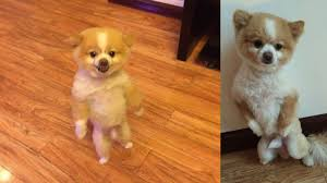 summer haircut pomeranian dog walks on hind legs for two days after new haircut pisses him off