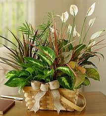 funeral plants funeral plants fn p009 everest florist and gifts
