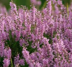 plants native to scotland great britain