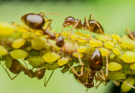 organic aphid control planet natural
