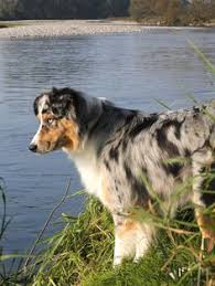 australian shepherd 5 months the aussie weekly 116 u2014 the weekly special feature for australian
