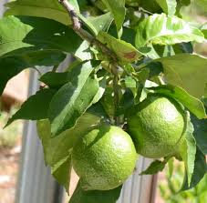 harvesting limes learn how and when to a lime
