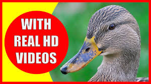 duck facts for kids information about ducks kiddopedia