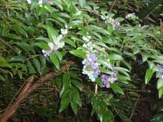 rubus calycinoides ornamental raspberry or crinkled creeper an