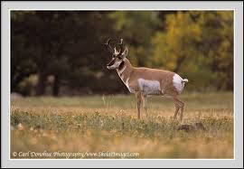 South Dakota wildlife images South dakota wildlife pronghorn photo jpg