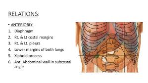 Liver Human Anatomy The Anatomy Of The Liver U0026 The Biliary System