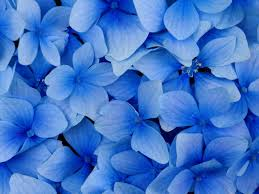 115 best flowers blue images on pinterest flowers blue and plants