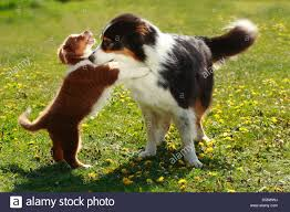 australian shepherd 14 weeks australian shepherd two puppies in stock photos u0026 australian