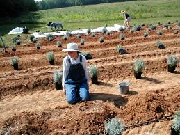 native plants for clay soil planting u0026 care sunshine lavender farm