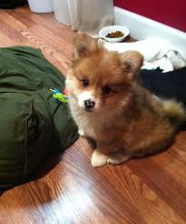 corgi x australian shepherd 10 times corgis mixed with other breeds and the result was