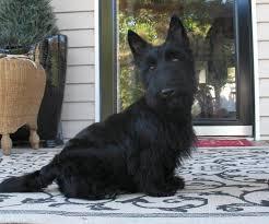 scottish yerrier haircuts puppy thursday modern scottie dog