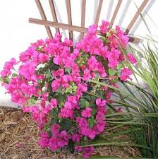 Bougainvillea Topiary - how to grow and care for bougainvillea