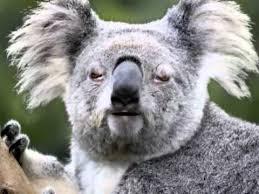 Angry Koala Meme - images angry koala bears
