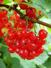 red currant grow guide