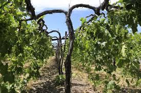 Trellis Wine Wsu U0027s Voice Of The Vine Vineyard Expansion New Zealand Wine