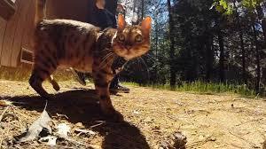cat with australian shepherd bengal cat vs australian shepherd dog walking on leash youtube