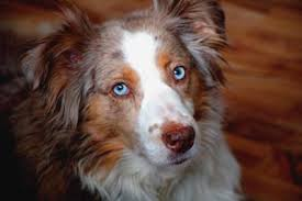 australian shepherd with tail for sale miss kylie