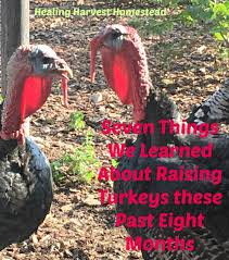 seven lessons we learned about raising turkeys in the last eight