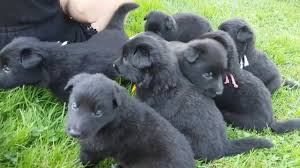 belgian sheepdog groenendael breeder groenendael puppies youtube