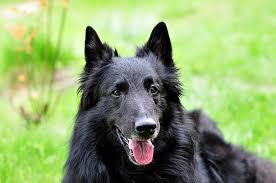 belgian sheepdog groenendael sale belgian shepherd pictures images and stock photos istock