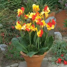 Canna Lilies Tulip World Cleopatra Canna 23121
