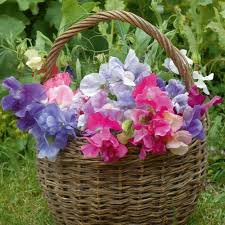 sweet peas flowers heirloom 30 seeds sweet pea lathyrus lord anson s