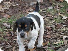 bluetick coonhound treeing pinterest u2022 the world u0027s catalog of ideas