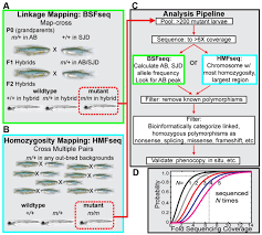 Linkage Map Rapid Positional Cloning Of Zebrafish Mutations By Linkage And