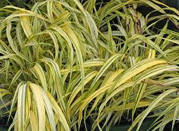 viette s the splendor of ornamental grasses
