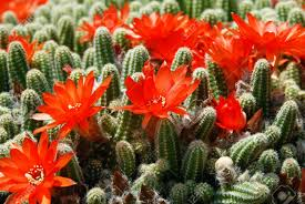 blooming flowers of red torch cactus echinopsis huascha stock