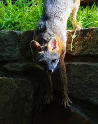 gray fox in my backyard album on imgur