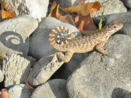 11 best scincella lateralis groud skink images on pinterest