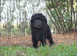 affenpinscher ottawa canuck dogs your source for canadian dog event information online
