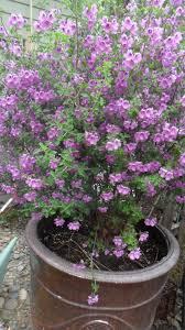 Fragrant Garden Plants Prostanthera Rotundifolia Australian Mint Bush Very Fragrant My
