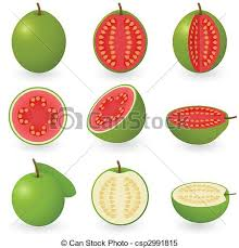 vector of guava fruit design creative guava fruit pencil sketch