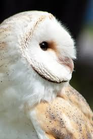 Barn Owl Photography Barn Owl By H E Photography On Deviantart