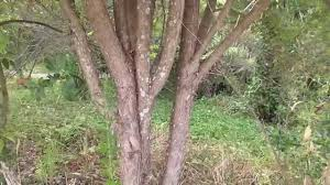 plants native to new zealand new zealand native plants kanuka u0026 manuka youtube