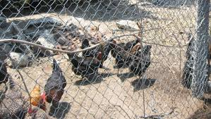 atlantic beach takes first step towards backyard hen program