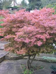 Tree Planting A Japanese Maple Tree Tips On Growing And Caring For
